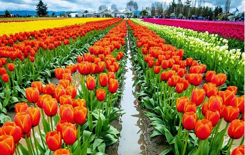Tulip Festival Office